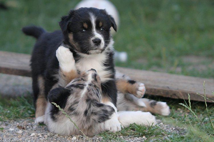 Lovely Woodsdogs - B-Litter